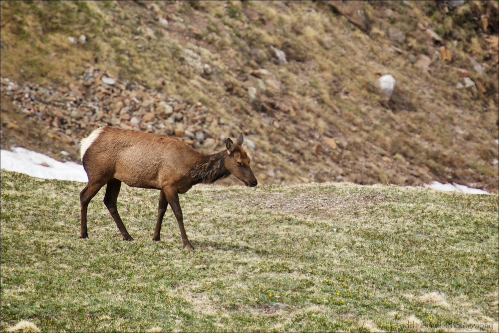 Lone Elk, likely a female (cow)