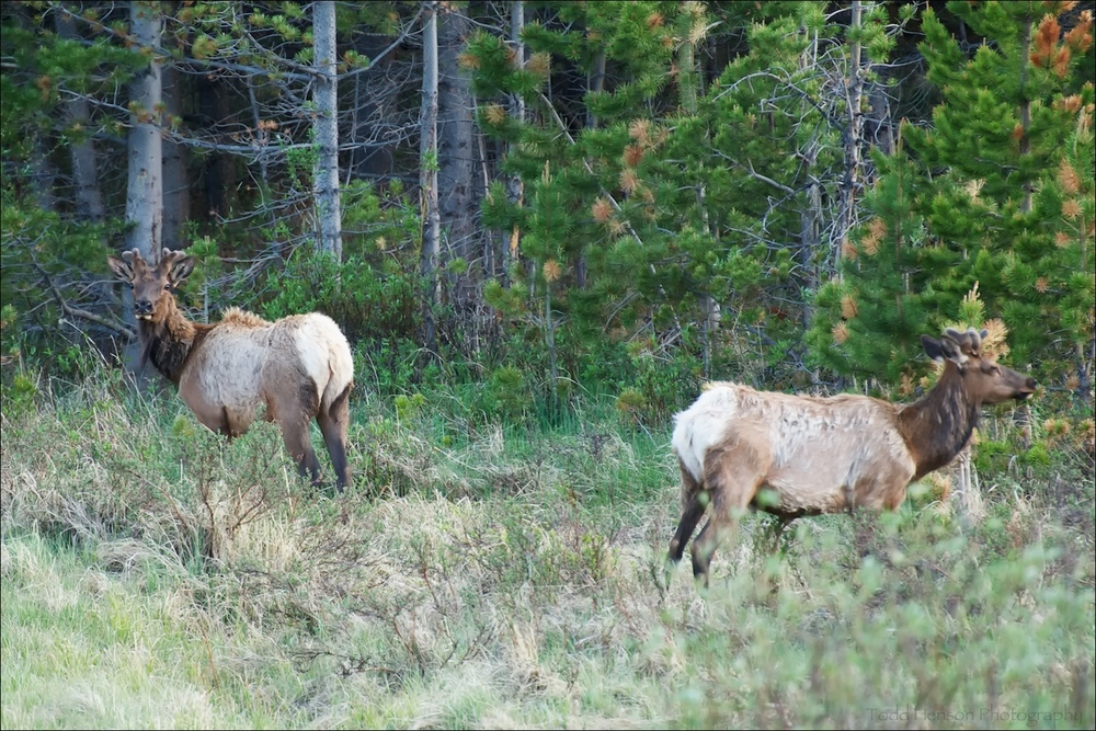 Pair of Elk at edge of trees