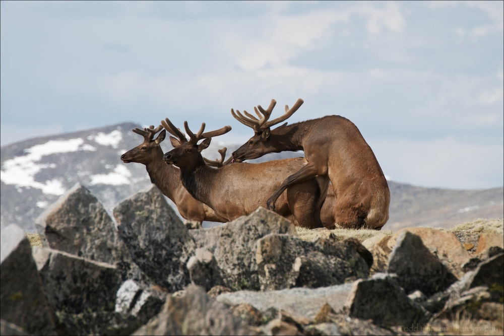 Group of male (bull) Elk