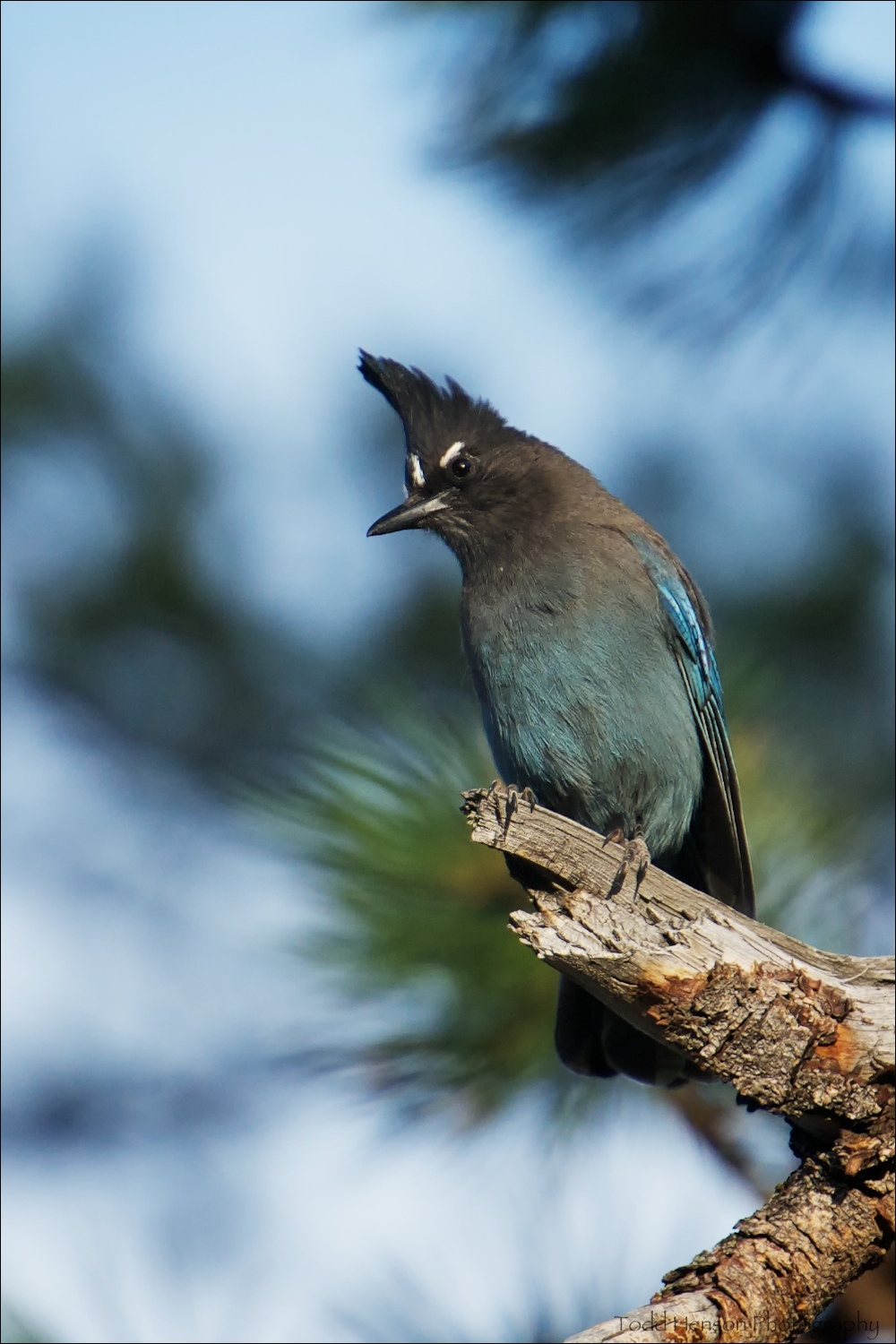 Steller's Jay with white eyebrows