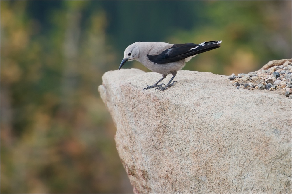 Clark's Nutcracker looking over the edge