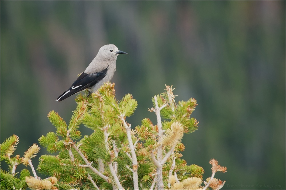 Clark's Nutcracker pausing in a tree