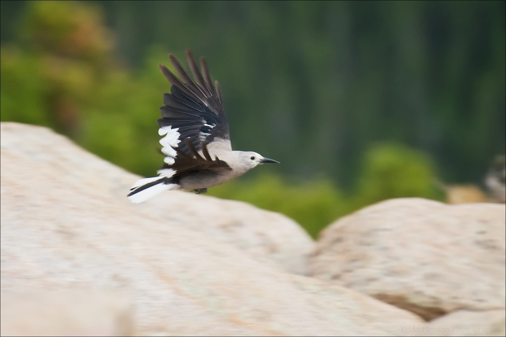 Clark's Nutcracker in flight
