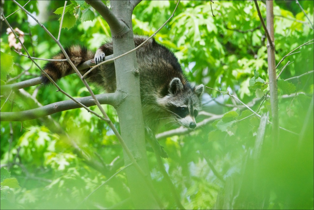 Northern Raccoon climbing from one tree to the top of another, finding a place to sleep for the day