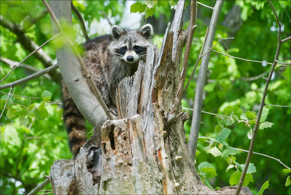 Northern Raccoon at top of tree. It heard me taking pictures, turned my way, then curled up and went to sleep.