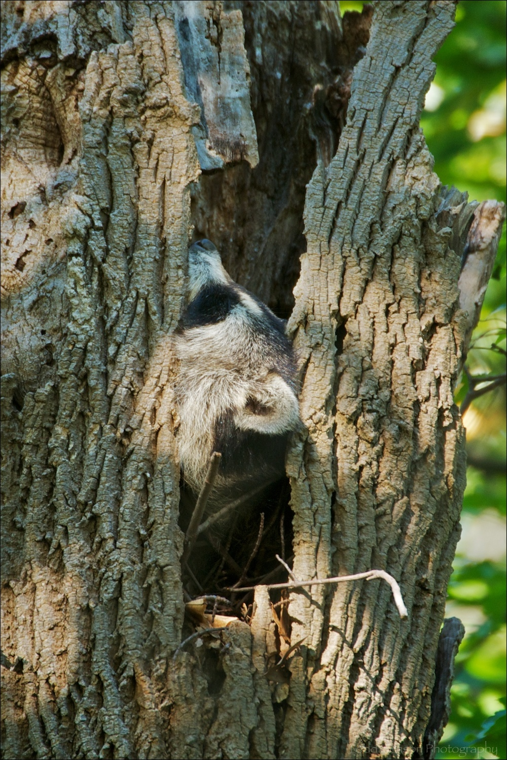 Northern Raccoon sleeping in the hollow of a tree.