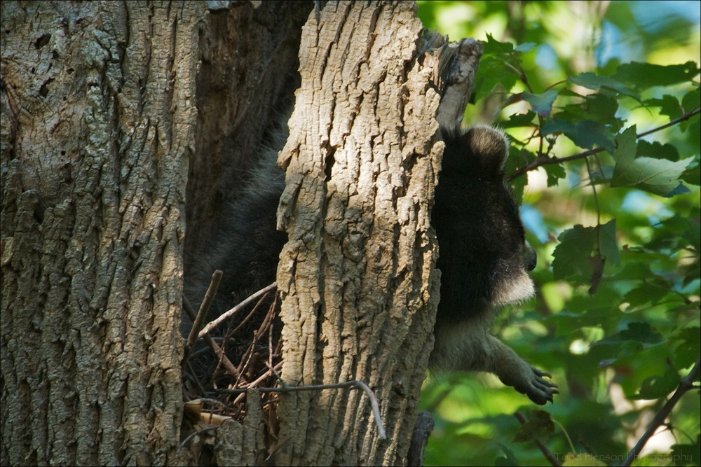 Northern Raccoon in the hollow of a tree. It was sleeping, and appeared to wake for a short while, stretching out of the hollow. Shortly after it curled back up in the hollow.