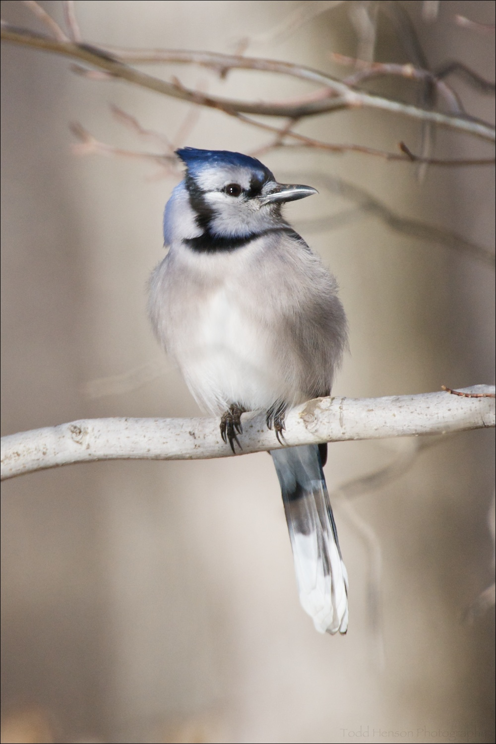Blue Jay resting on branch