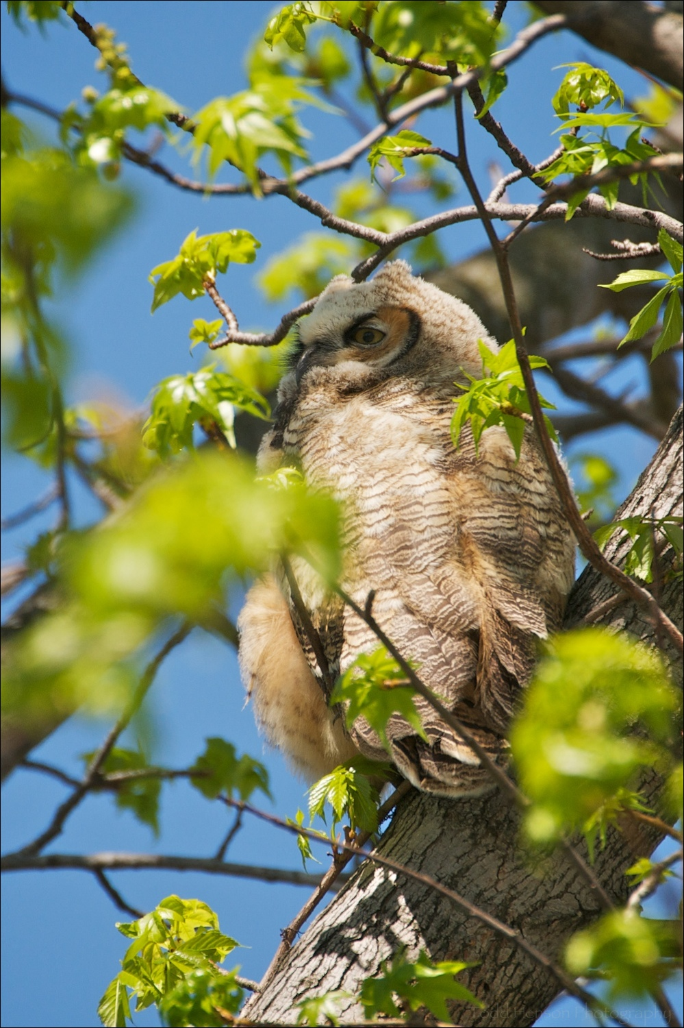 Young Great Horned Owl, recently fledged. April 11, 2010