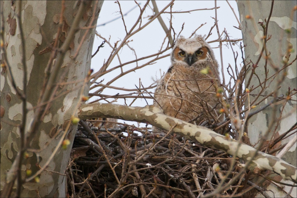 Young Great Horned Owls shortly before fledging. April 4, 2010