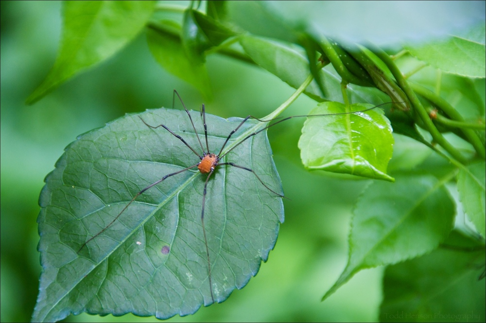 Eastern Harvestman (Daddy Long Legs) on a leaf