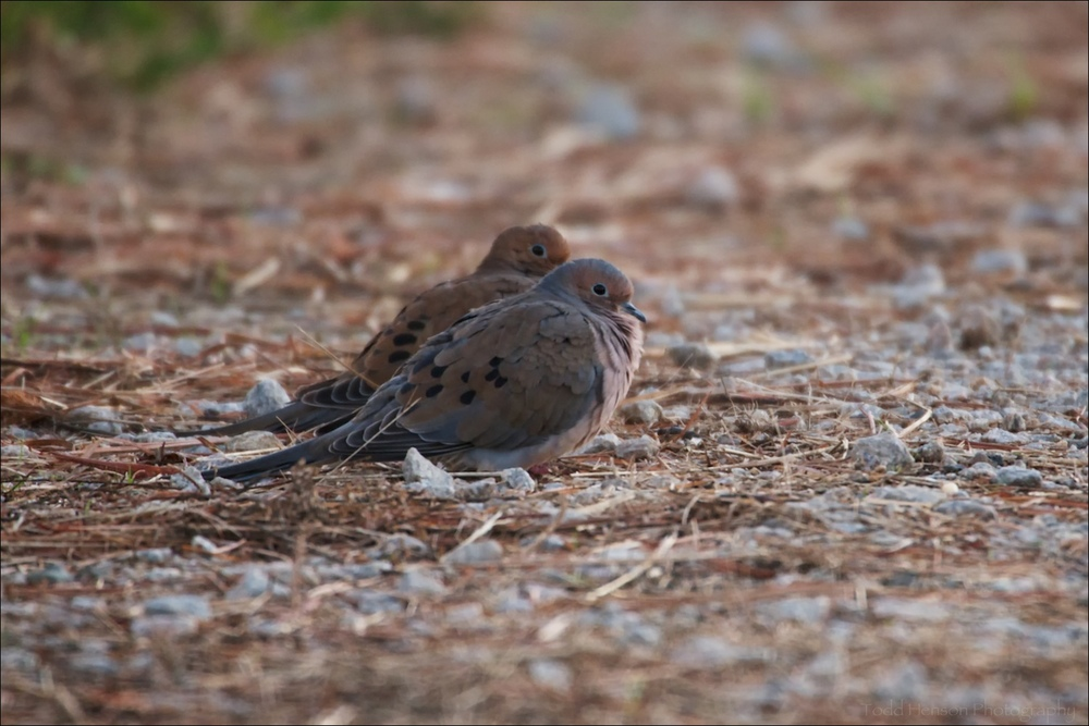Pair of Mourning Dove resting on trail