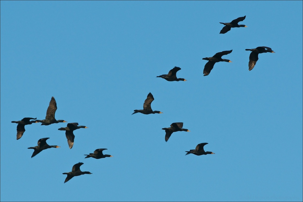 A group of Double-crested Cormorants in flight