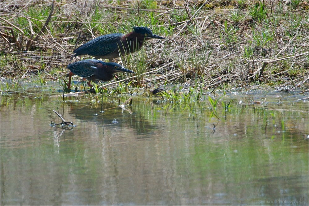 Pair of Green Heron hunting together around a small pond