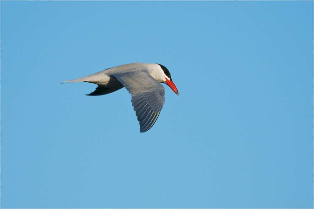 Caspian Tern showing off its reddish bill and gray upper side.