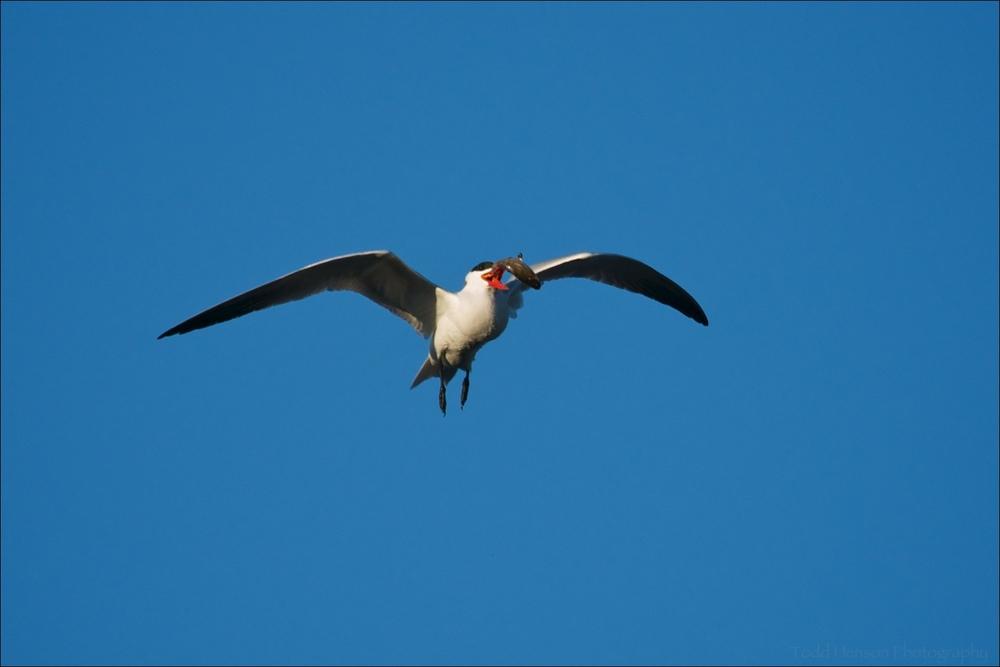 Caspian Tern preparing to eat a small fish in flight.
