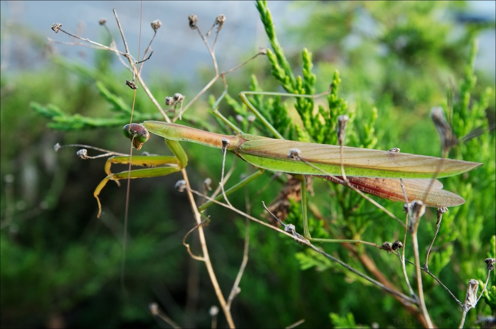 Chinese Mantis in bushes near parking lot