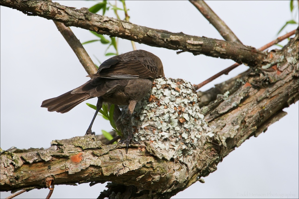 Female Brown-headed Cowbird, with her head deep into the Blue-gray Gnatcatcher nest.
