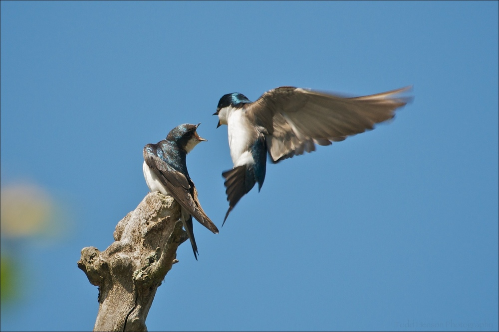 Male Tree Swallow in flight courting female on branch in mid-April