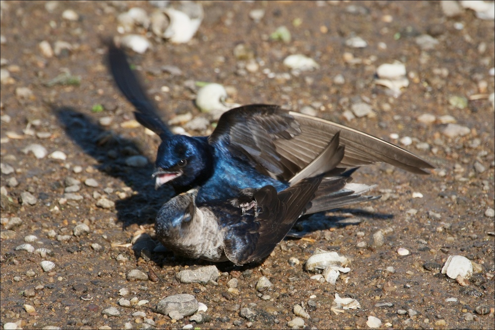 Pair of Purple Martin mating on the sand, the male just about to fly away