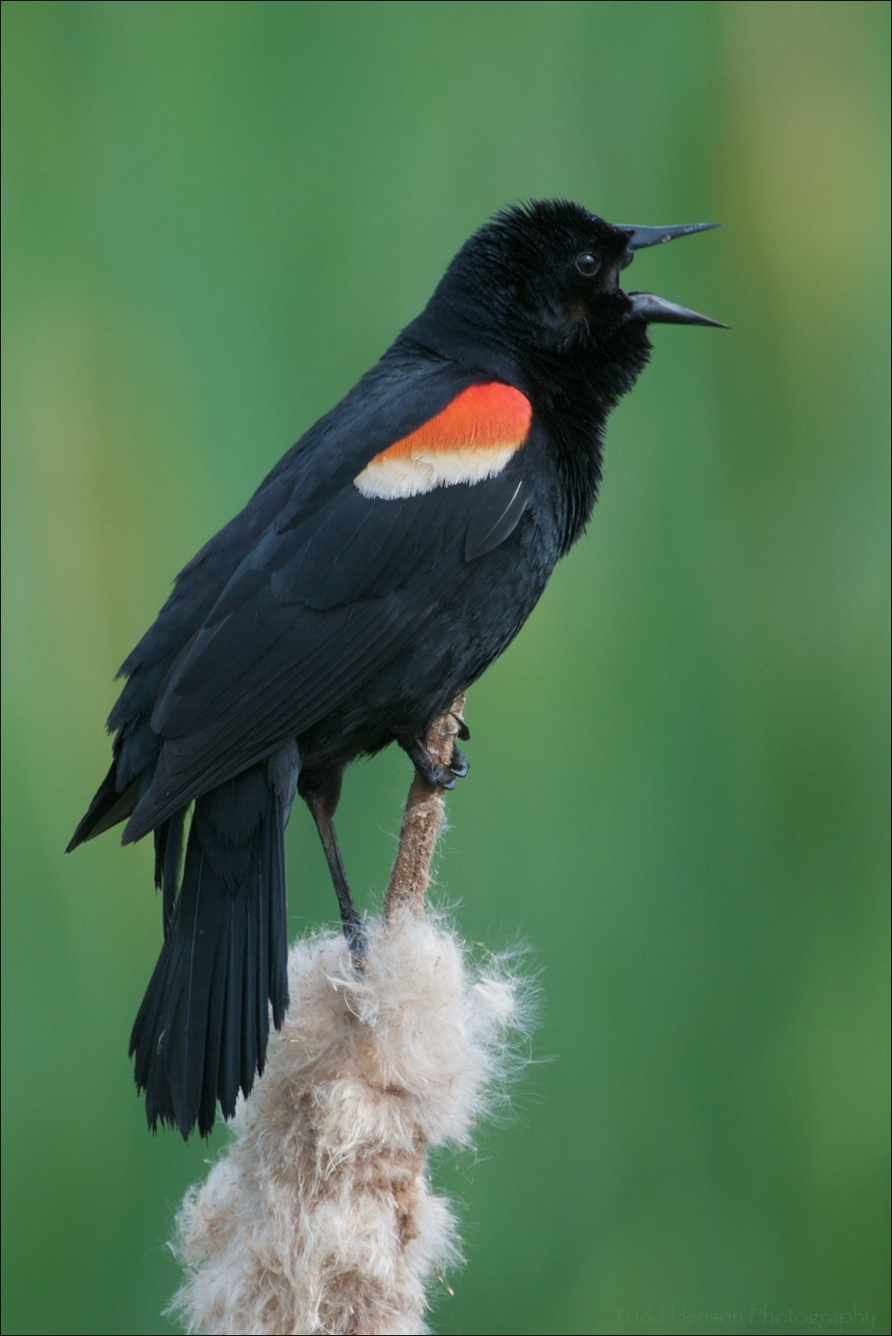 Singing Red-winged Blackbird (male)