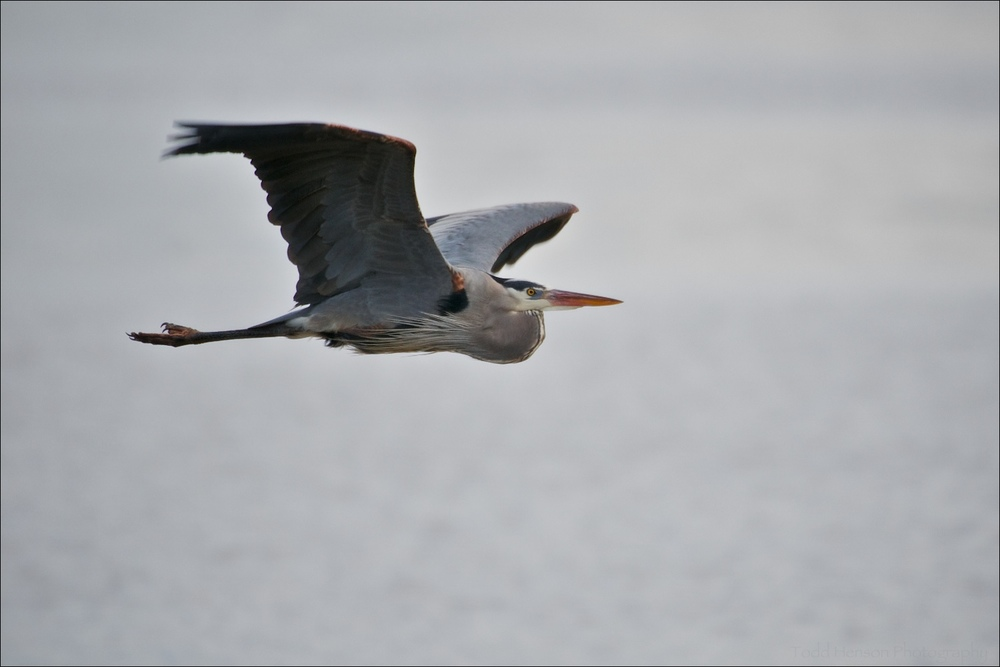 Great Blue Heron Flying Over Water