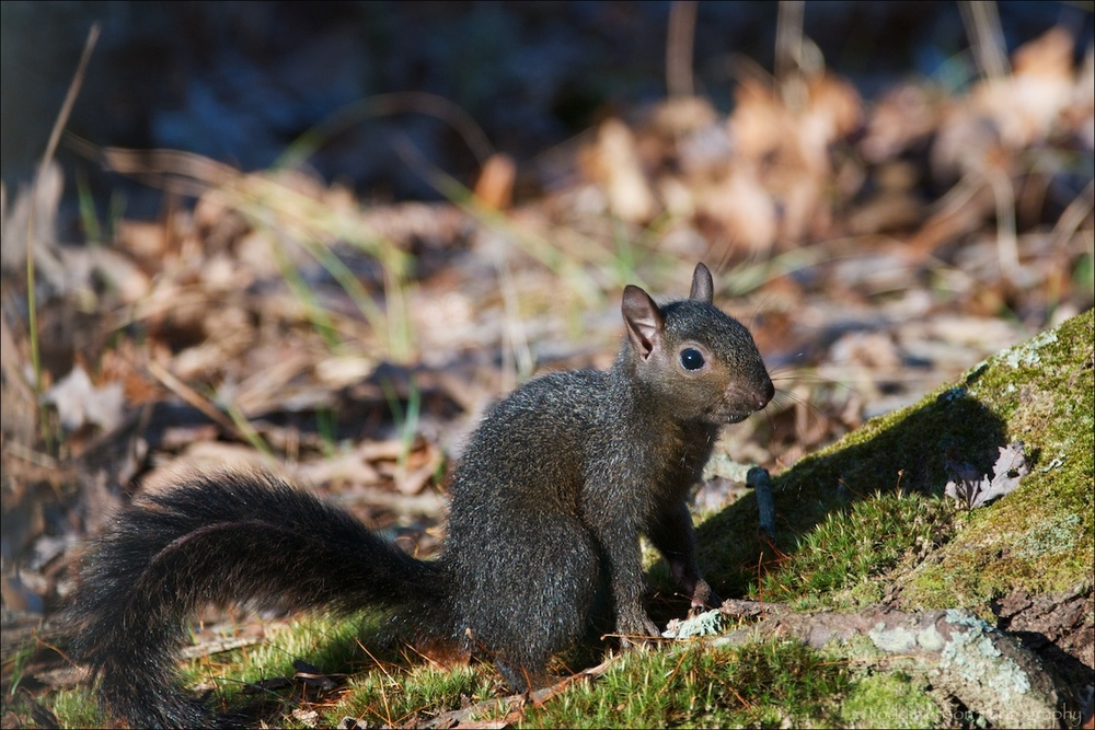 Young Eastern Gray Squirrel with more melanistic (black) fur