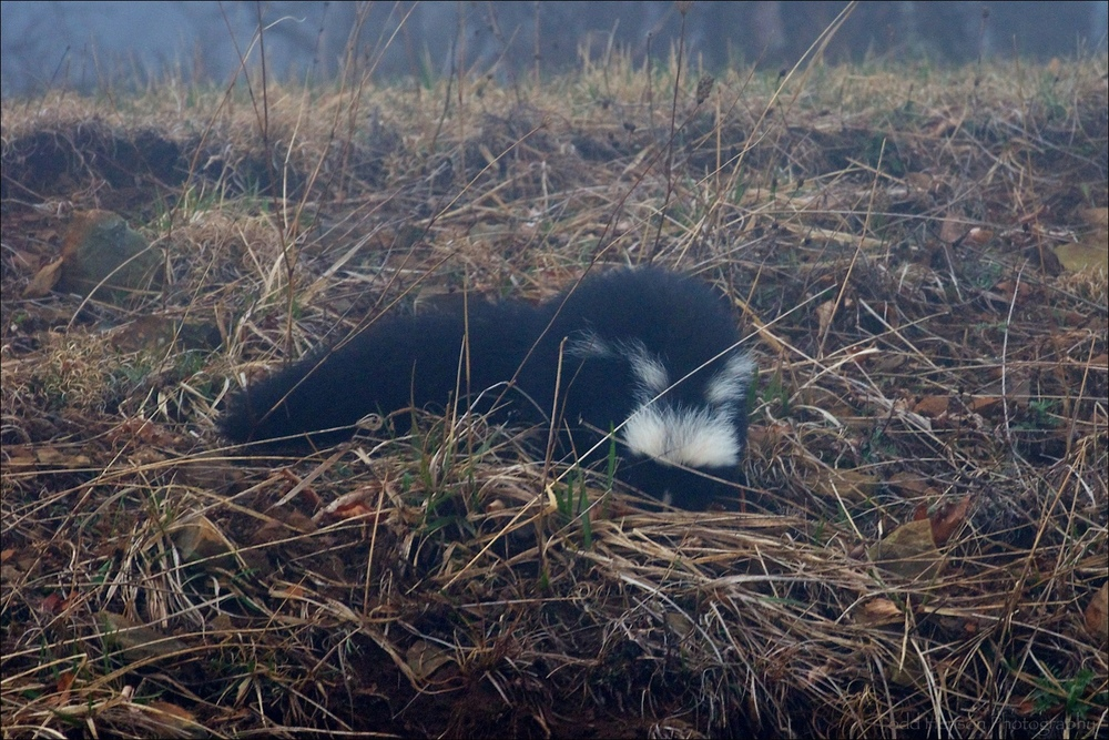 Low quality image of a Striped Skunk nosing through grass along ridge beside road in very dense fog