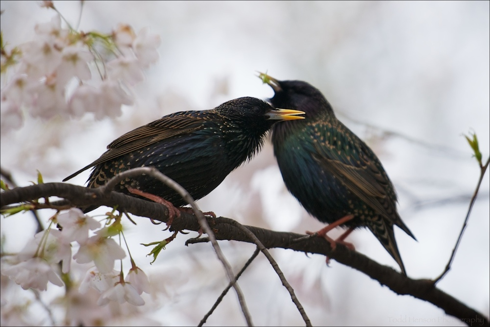 Breeding pair of European Starling amongst cherry blossoms