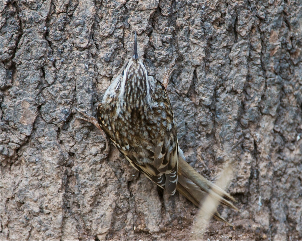 Brown Creeper from the back. Notice how well it blends in with the bark of the tree.