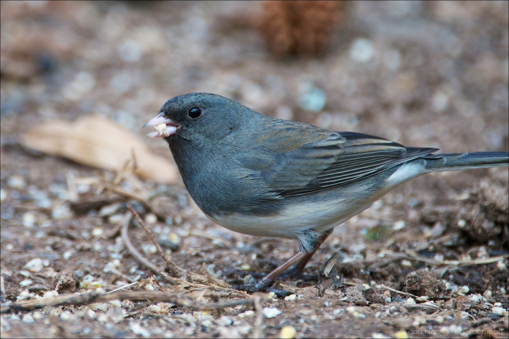 """Slate-colored"" variety of Dark-eyed Junco feeding under a bird feeder."