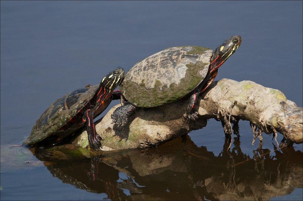 Pair of Eastern Painted Turtle sunning themselves.