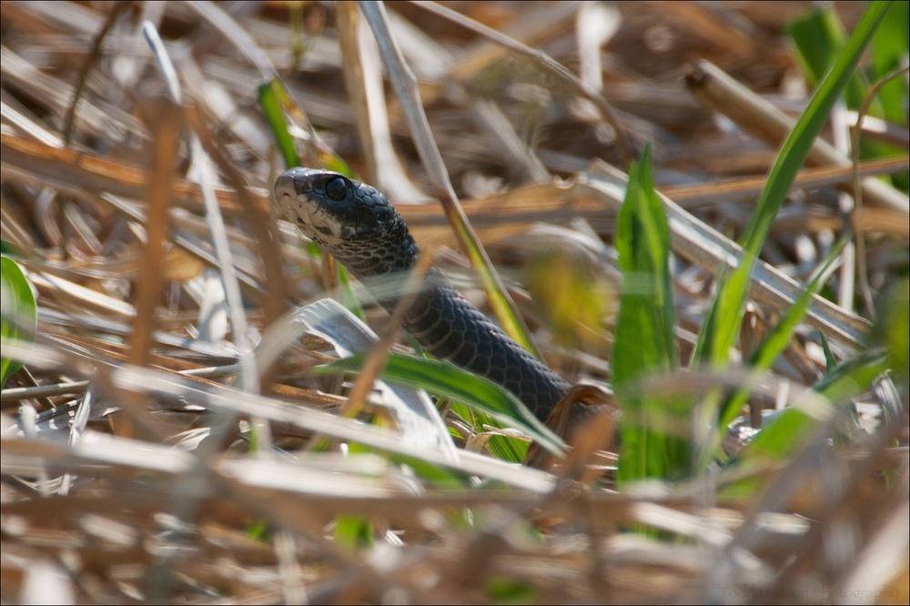 Eastern Black Racer emerging from the grass.