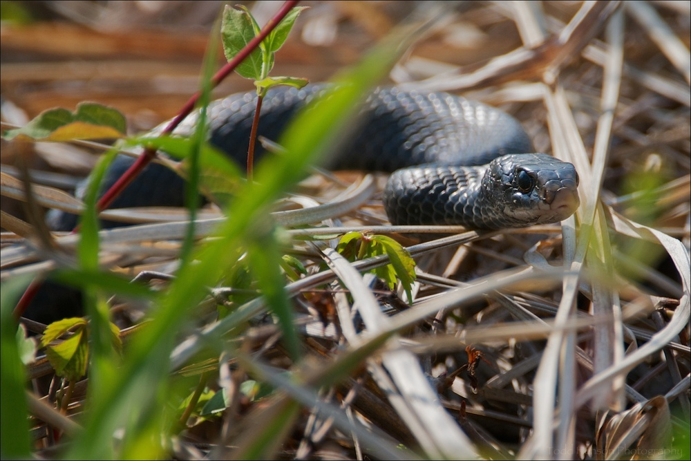 Eastern Black Racer