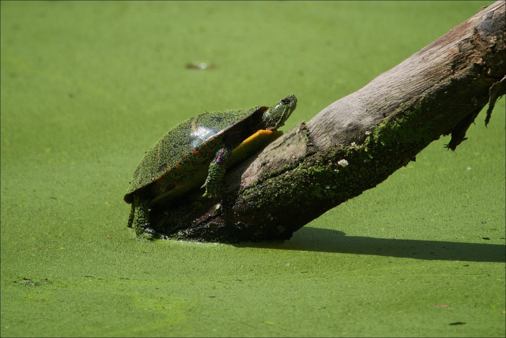 Eastern Painted Turtle in green pond.