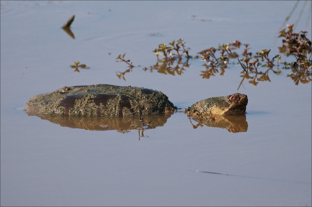 Snapping Turtle coming up for a view.
