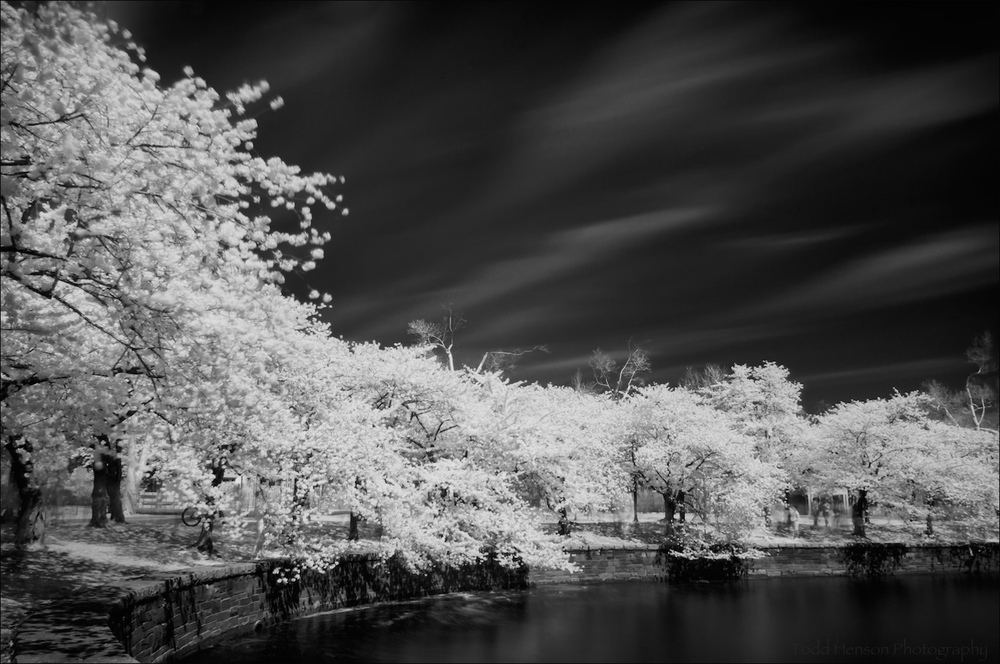 Cherry Blossoms in Infrared