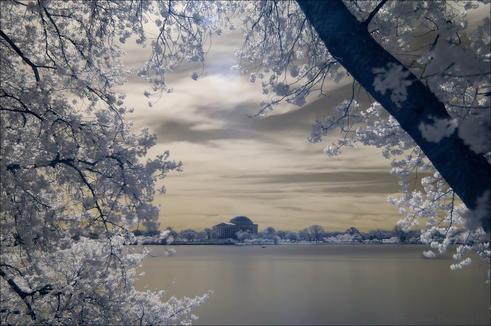 Thomas Jefferson Memorial through cherry blossoms in bloom, in infrared with golden tones.
