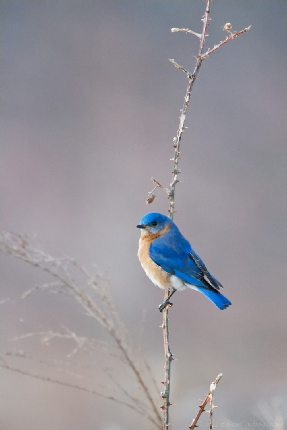 Male Eastern Bluebird perched in field