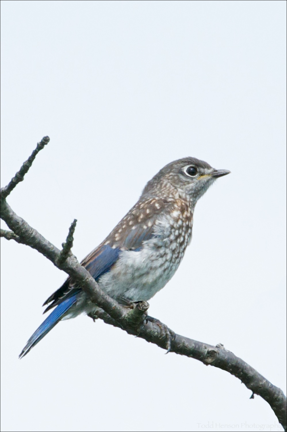 Juvenile Eastern Bluebird in tree