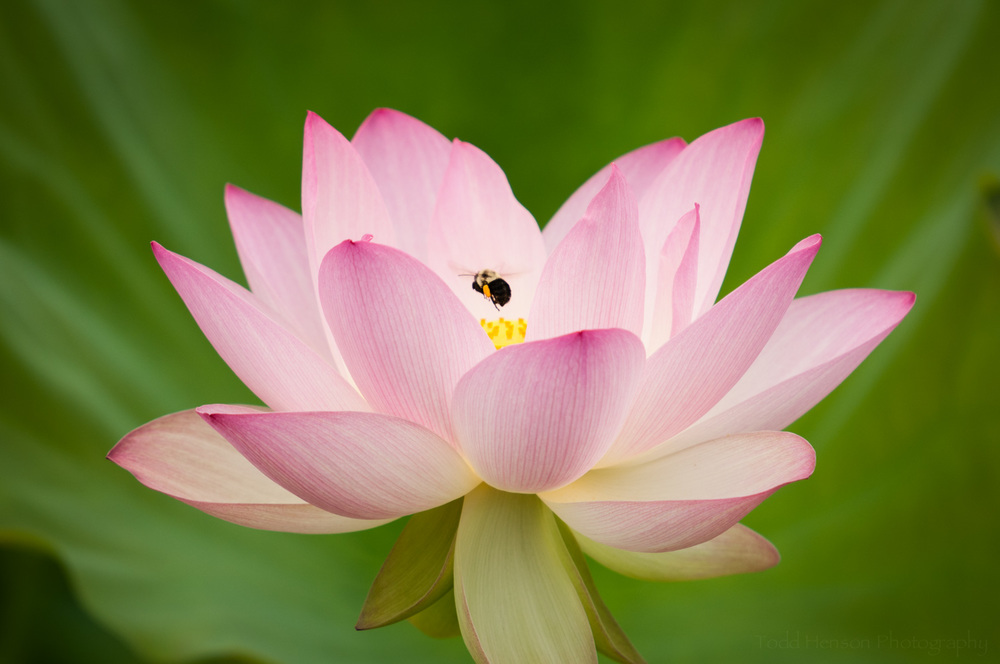 Bumble bee flowing into center of lotus blossom