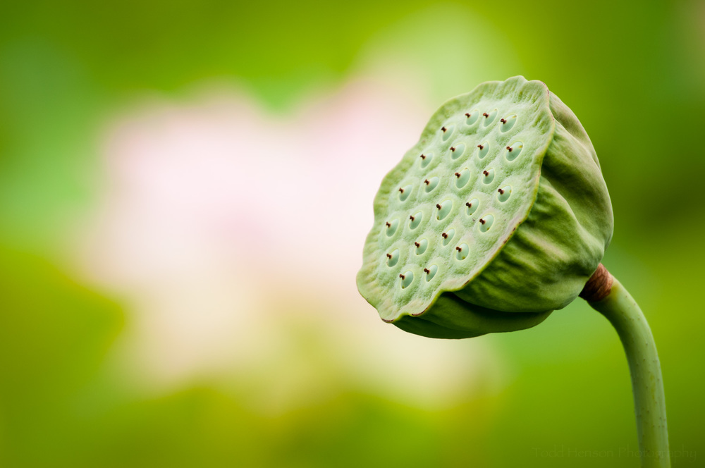 Lotus seed pod with out of focus lotus blossom in background
