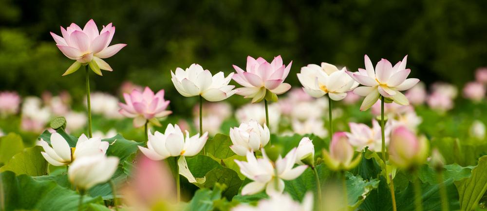 Ponds full of lotus blossoms at Kenilworth Aquatic Gardens