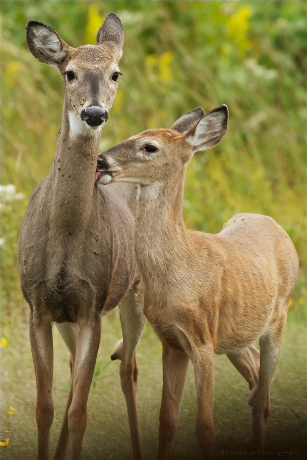 Pair of white-tailed deer. They appear to have been through some thorny bushes recently.