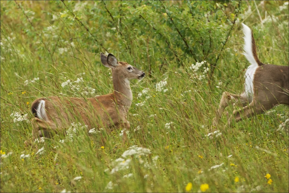Pair of white-tailed deer after they'd had enough of being close to me. Notice the white tail of the adult as it bounds away.