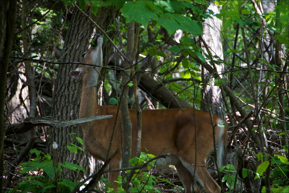 White-tailed deer in forest eating leaves