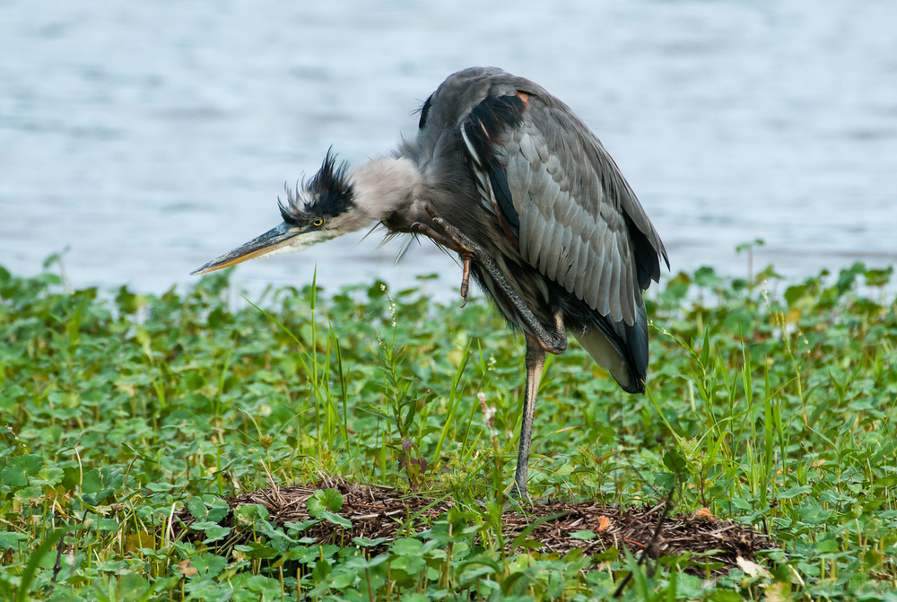 Great Blue Heron scratching an itch. Notice the talons on the ends of its toes.