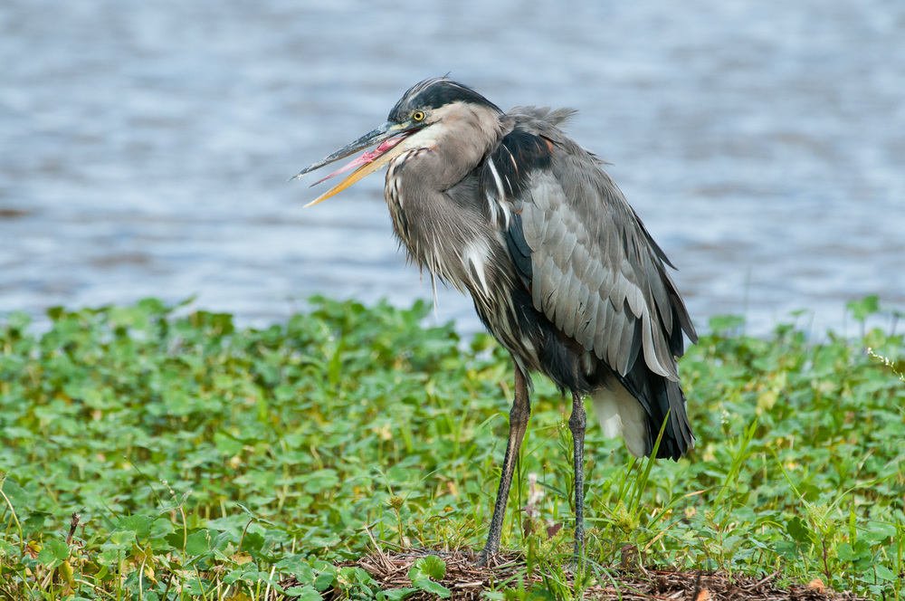 Great Blue Heron opening its beak enough to provide a view of its barbed tongue