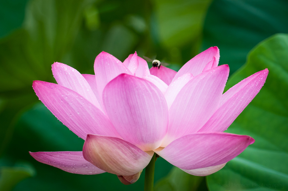 Bumble bee above a lotus blossom