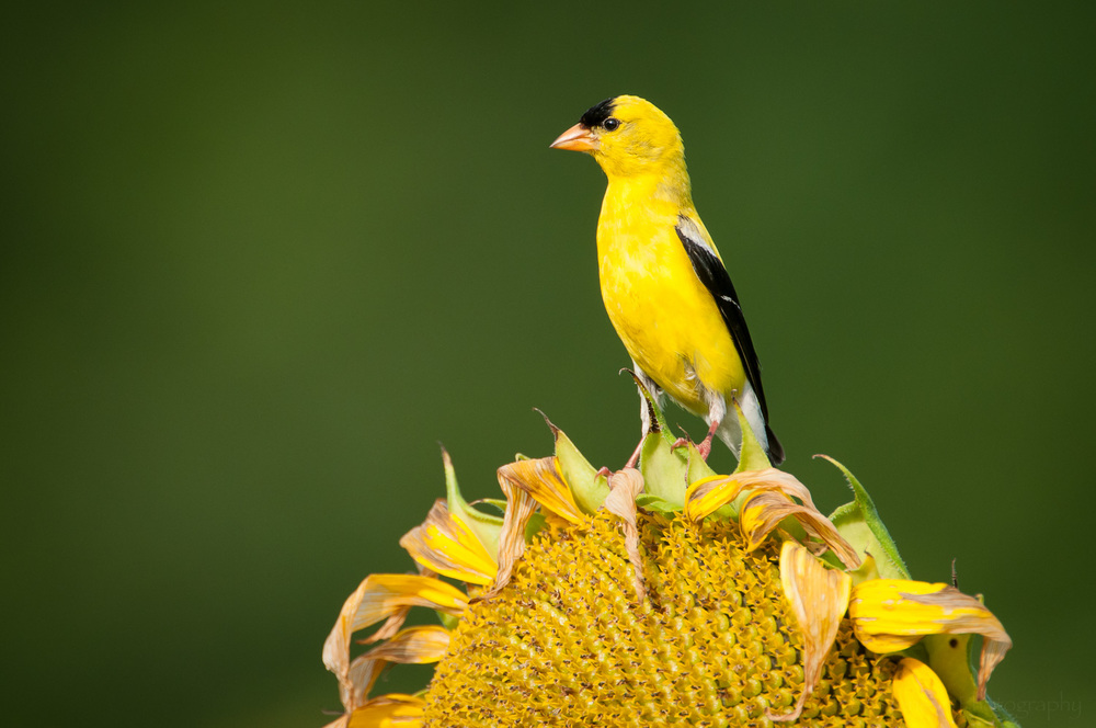 Male Goldfinch  looking over the field of sunflowers.